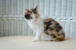 Cute kitten staring Stock Photography