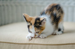 Cute kitten staring Royalty Free Stock Photos