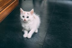 Tiny cute cat starring at you. Cute kitten starring at you while sitting on the floor Royalty Free Stock Images