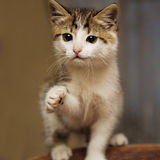 Cute  kitten stretches a paw say hello Royalty Free Stock Image