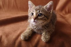Cute kitten studio shoot. A studio shoot of a cute tabby kitten on a brown background Stock Images