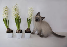 Cute kitten and three hyacinth in flower pots Stock Photos
