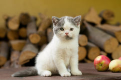 Cute Kitten Two Month Outdoor Stock Photography