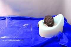 Cute kitten using his potty litter. British Shorthair kitten sitting in its potty litter sand tray for cat, indoor pet royalty free stock images