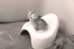 Cute kitten using his potty litter. British Shorthair kitten sitting in its potty litter sand tray for cat, indoor pet stock images