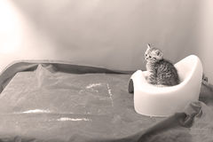 Cute kitten using his potty litter. British Shorthair kitten sitting in its potty litter sand tray for cat, indoor pet stock image