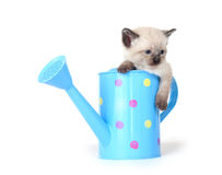 Cute kitten in watering can Royalty Free Stock Image