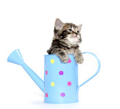 Cute kitten in watering can Stock Photo