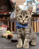 A Cute Kitten Wearing a Bow Tie and Waiting For Adoption at a Pe stock image