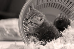 Cute kitten and white feathers Stock Images