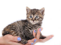 Cute kitten in woman hands Stock Images