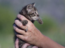 Cute kitten in womans hands Royalty Free Stock Photo