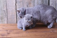 Small kitten playing with mom Stock Photos
