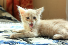 Cute kitten yawning Stock Image