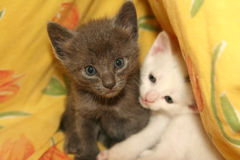 Cute kittens. Two beautiful kittens laying together. They are brother and sister stock image
