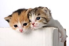 Cute Kittens. Two tiny cute kittens in a cardboard box stock photography