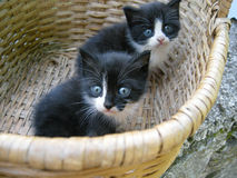 Cute kittens in basket. Closeup of two cute black and white kittens in wicker basket Stock Images