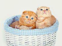 Cute kittens in a basket royalty free stock photography