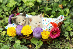 Cute kittens in basket Royalty Free Stock Image
