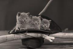 Cute kittens in a black hat stock photo