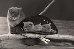 Cute kittens in a black hat. Cute British Shorthair kittens sitting in a black hat among some branches stock images