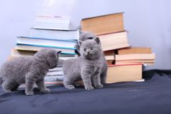 Cute kittens and books Royalty Free Stock Images