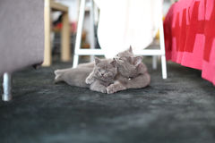 Cute kittens British Shorthair on the carpet Stock Photography
