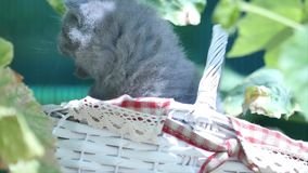 Cute kittens British Shorthair in the garden stock footage