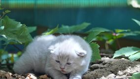 Cute kittens British Shorthair in the garden stock video