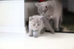 Cute kittens British Shorthair in livingroom Royalty Free Stock Photos