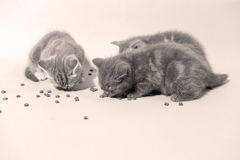 Cute kittens eating Royalty Free Stock Image