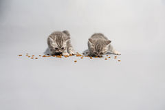 Cute kittens eating Stock Photography