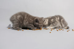 Cute kittens hungry Stock Photos