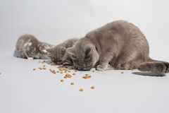 Cute kittens hungry Stock Photography