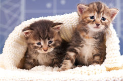 Cute kittens Royalty Free Stock Image
