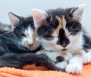 Cute kittens lying together in bed. Stock Image