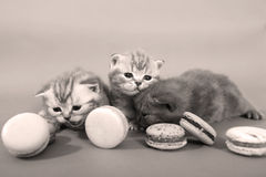 Cute kittens with macarons Royalty Free Stock Photography