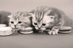 Cute kittens with macarons Royalty Free Stock Photo