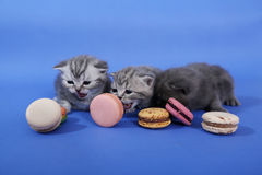 Cute kittens with macarons Stock Image