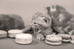 Cute kittens with macaroons Stock Photography
