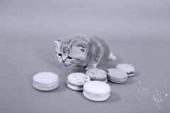 Cute kittens with macaroons Royalty Free Stock Photography