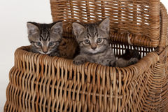 Cute kittens in a picnic basket Royalty Free Stock Photo