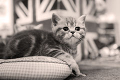 Cute kittens on a pillow Royalty Free Stock Image