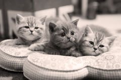 Cute kittens on a pillow Stock Photography