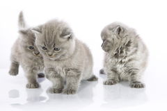 Cute kittens playing Royalty Free Stock Photo