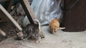 Cute Kittens Playing. Little homeless kittens red and gray colors are played with a cat on the street. Full HD 1920 x 1080p, 29,97 fps stock video footage