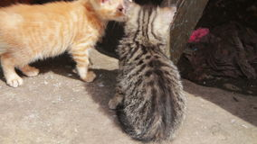 Cute Kittens Playing. Little homeless kittens red and gray colors are played on the street. Full HD 1920 x 1080p, 29,97 fps stock video