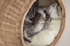Cute kittens playing in wicker bed Royalty Free Stock Images