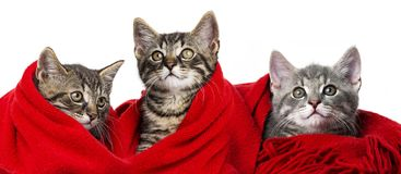 Cute kittens with a red scarf. On white royalty free stock image
