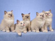 Cute kittens in a row on blue. 5 Pretty and cute Ragdoll kittens sitting in a row, on blue background fabric royalty free stock photography